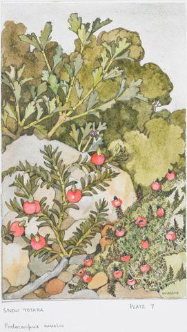 Image: Podocarpaceae - Podocarpus nivalis