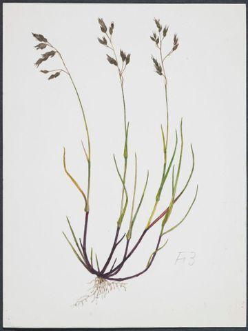 Image: Poaceae - Hierochloe alpina