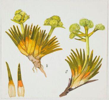 Image: Apiaceae - Aciphylla simplex