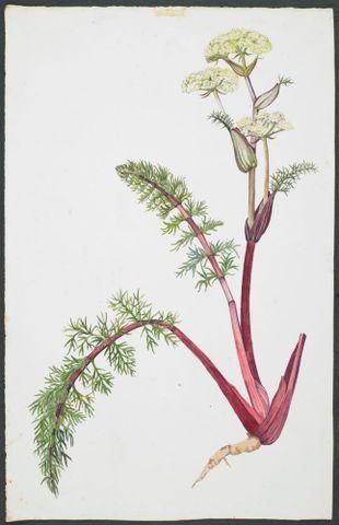 Image: Apiaceae - Anisotome haastii