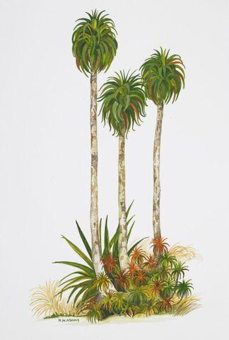 Image: Epacridaceae - Dracophyllum fiordense