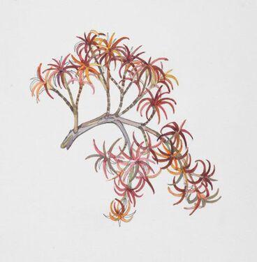 Image: Epacridaceae - Dracophyllum recurvum
