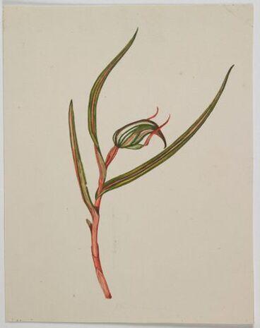 Image: Orchidaceae - Pterostylis irsoniana