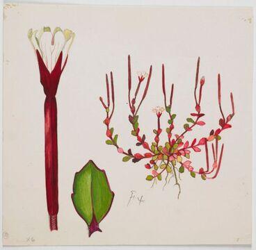 Image: Onagraceae - Epilobium alsinoides subsp. atriplicifolium