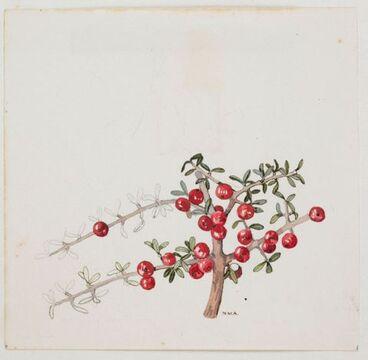 Image: Rubiaceae - Coprosma parviflora