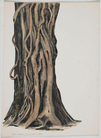 Image: Myrtaceae - unidentified species