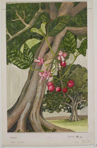 Image: Verbenaceae - Vitex lucens