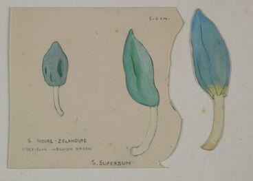 Image: Strigulaceae - Strigula novae-zelandiae, S. Superbum and S. ?