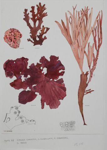 Image: Red seaweeds - Plate 57 - Curdiea