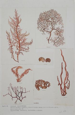 Image: Red seaweeds - Plate 49 - Nemalion, Helminthocladia, Helminthora