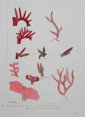 Image: Red Seaweeds - Plate 107 - Dasyclonium