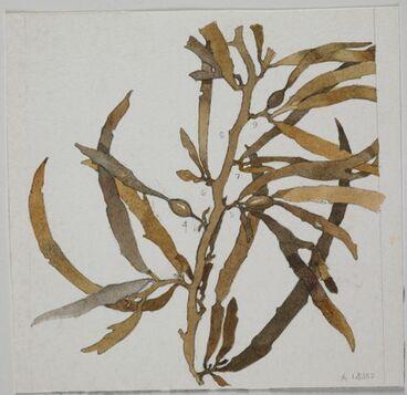 Image: Bown Seaweed - Unidentified species