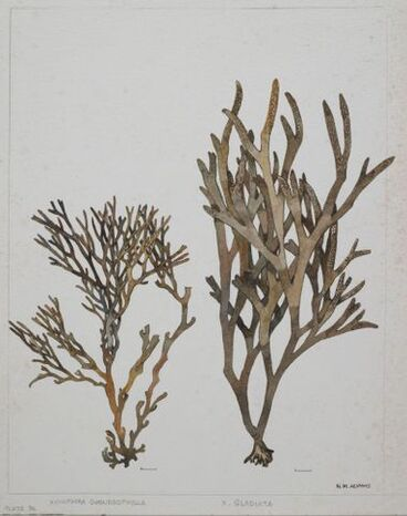 Image: Brown Seaweed - Fucaceae - Xiphophora chondrophylla and X. gladiata