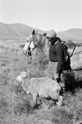 Image: (Sheep musterer with horse and lone sheep)