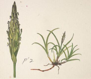 Image: Cyperaceae - Uncinia viridis