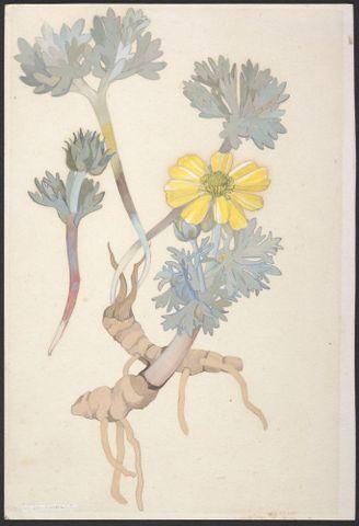 Image: Ranunculaceae - unnamed specimen
