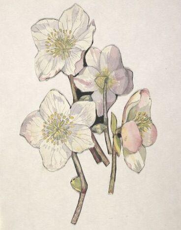 Image: Ranunculaceae - Helleborus niger