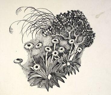 Image: Asteraceae - Celmisia coriacea