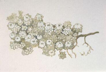Image: Asteraceae - Raoulia youngii