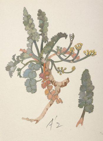 Image: Apiaceae - Gingidia enysii