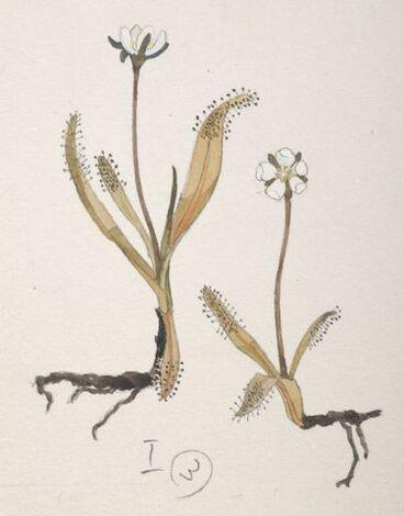 Image: Droseraceae - Drosera arcturi