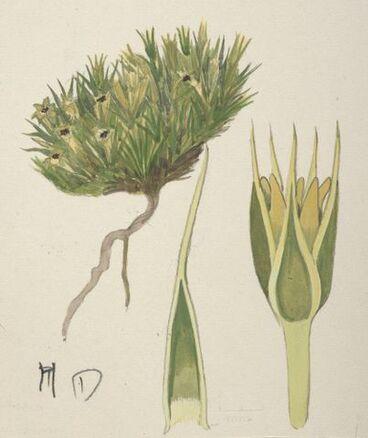 Image: Caryophyllaceae - Colobanthus acicularis