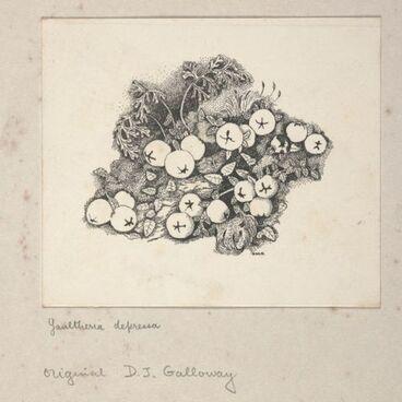 Image: Ericaceae - Gaultheria depressa