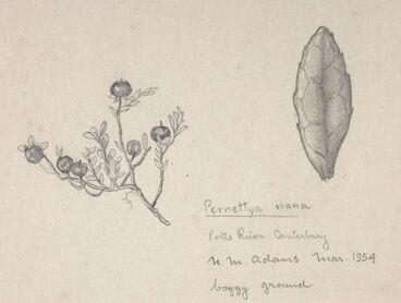 Image: Ericaceae - Pernettya nana