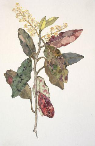 Image: Grossulariaceae - Quintinia acutifolia