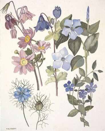 Image: Ranunculaceae - Anemone ×hybrida, Aquilegia vulgaris and Nigella damascena; Apocynaceae - Vinca major and V. minor.
