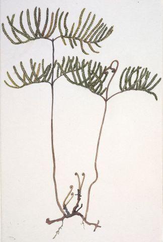 Image: Gleicheniaceae - Gleichenia dicarpa