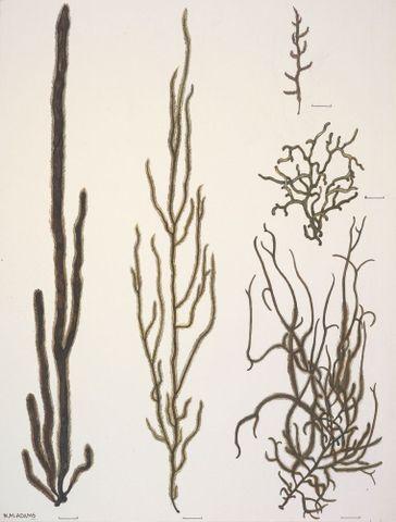 Image: Chordariaceae - Chordaria cladosiphon, Papenfussiella lutea, Myriogloea intestinalis, Tinocladia nova-zelandiae; Spermatochnaceae - Nemacystis novae-zelandiae