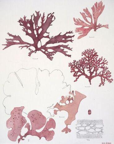 Image: Plate 75 Hypnaceae - Callophyllis variegata(cr), C. atrosanguinea(tl), C. ornata(bl) and C. dichotoma(tr)