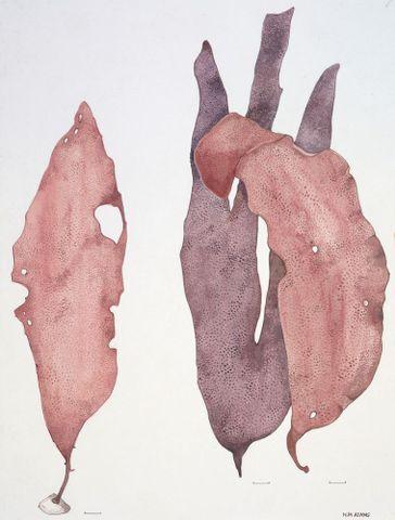 Image: Plate 64 Iridaea lanceolata, Iridea sp