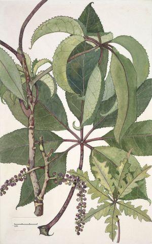 Image: Araliaceae - Schefflera digitata