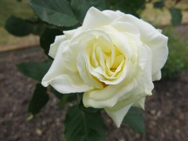 Image: Ballantyne Memorial Rose Garden