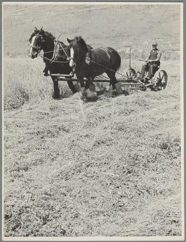 Image: Man and plough horses at work in field, Waipukurau