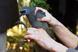 Image: Kokako return to Waitakere ranges