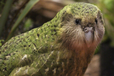 Image: Every single kakapo's genome to be sequenced