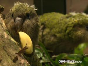 Image: Crowds flock for rare glimpse at baby kakapo