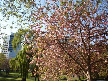 Image: Blossom in Victoria Square