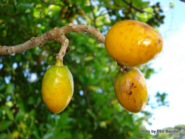 Image: Karaka fruit , Corynocarpus laevigatus