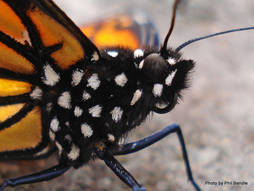 Image: Danaus plexippus, female Monarch Butterfly head