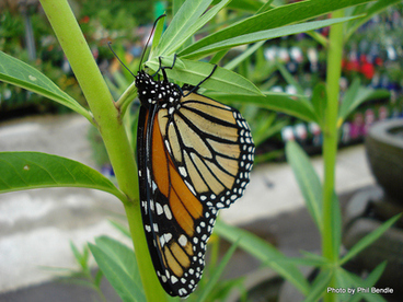 Image: Monarch butterfly on Swan plant
