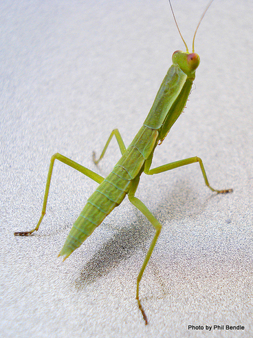 Image: Preying Mantis,Orthodera novaezealandia
