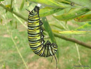 Image: Monarch Butterfly, Danaus plexippus