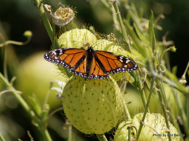 Image: Male Danaus plexippus, Monarch Butterfly