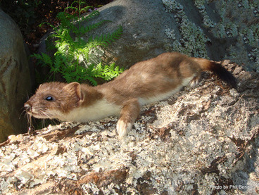Image: Stoat, Mustela erminea, Stoats, stoat new zealand, Short tailed weasel, Ermine