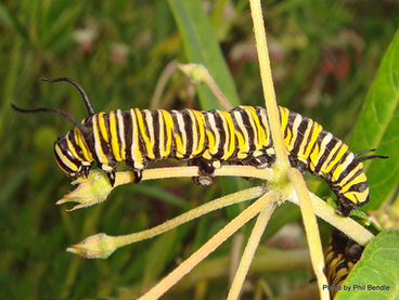 Image: Monarch butterfly caterpillar,Danaus plexippus, Monarch caterpillar