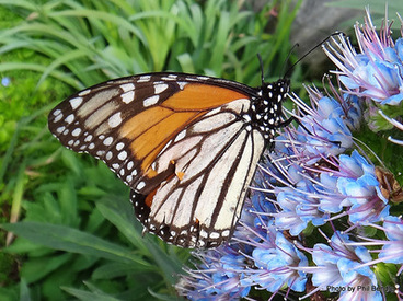Image: male Monarch butterfly, Danaus plexippus